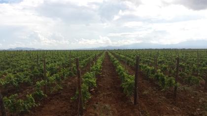 Uvas en Cananea 2